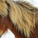 Icelandic Horse (Judy Mc Eachern)