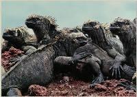 Iguana Sunbake - John Culver : Merit