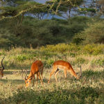 Impalas in the Serengeti by Jill Wharton