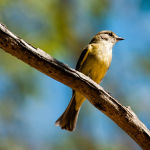 Lemon Bellied Flycatcher by Betty Bibby Highly Commended