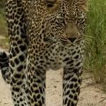 Leopard Stroll (Jill Wharton)