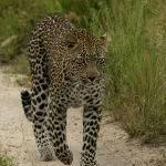 Leopard Stroll by Jill Wharton