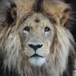 Lion (Brett Keating)