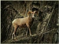 Longhorn Ram - Peter Dwyer : Merit