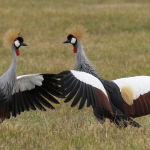 Mating Ritual of Grey Crowned Cranes by Jill Wharton Scored 10