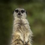 Meerkat on Guard by Betty Bibby Scored 10