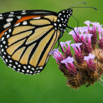 Monarch Butterfly ( Carol Hall ) Score 11