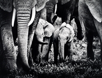 Protected by the Herd ( Max Lane ) First in Nature