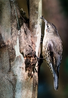 Tree Creeper (Mandy Notley ) Merit