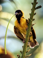 Masked Weaver Bird (Max Lane ) Merit