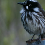 New Holland Honeyeater (Jill Wharton) 3rd Place