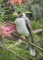 Noisy Mynah (Loraine Lees) 1st Place Large Prints and Winner Of The Bon Strange Trophy