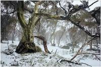 Old Snowgum (Jan Glover) Merit