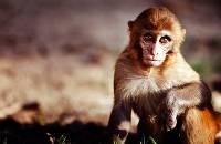 Baby Monkey (David Norris) Merit