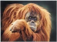 Orangatang (Jenni Horsnell) Merit