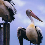 Pelicans on a Pole by Frank Carroll Scored 11
