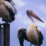 Pelicans on a Pole by Frank Carroll Scored 11