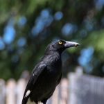 Pied Currawongs Breakfast by Kate Both Scored 11 Highly Commended