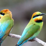 Rainbow Bee Eaters by Trevor Bibby