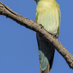 Rainbow Bee eater (Judy Mc Eachern)