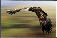 Raptor (Mark Shean) Merit