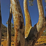 River Red gum (Murray Mc Eachern)