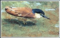Rufous Night Heron (Patricia Stephens) 2nd In Section