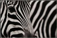 Stripes - Louise Wolfers (LAPS) : Merit
