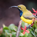 Sunbird on Nectar (Betty Bibby) Highly Commended
