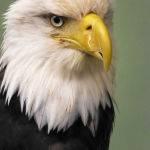 The Eagle has Landed (Sandy Adaway) Score 12