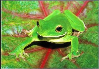 White Lipped Frog (John Culver) Merit