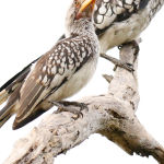 Yellow Billed Hornbills (Jill Wharton)