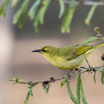 Yellow Honeyeater (Betty Bibby) Highly Commended