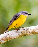 Yellow Robin (Trevor Bibby) 2nd Place