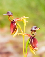 Flying Duck Orchids (Kerrie Purcell) 3rd Place
