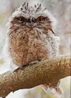 Tawny Frogmouth Owl Chick (Jill Wharton) Highly Conmmended