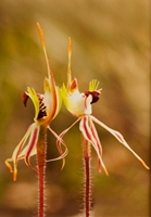 Spider Orchids (Kerrie Purcell) 2nd Place