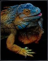 Iguana ( Arthur Lilley ) Merit