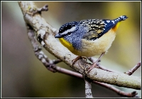 Spotted Pardalote ( Raymond Chatterton ) Merit
