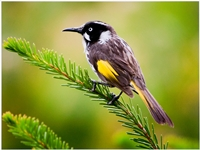 New Holland Honeyeater ( Lynn Deamer ) Merit