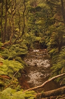 Otway Eainforest - Highly Commended Jill Wharton