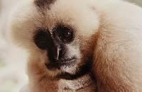 Gibbon - 3rd Place Lorraine Lees