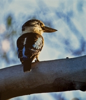 Blue Winged Kookaburra - Highly Commended Jill Wharton