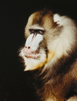Mandrill - 2nd Place Lorraine Lees