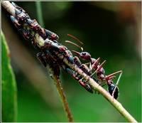 The Ant & the Eurymelids (Trevor Bibby) Merit