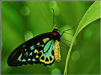 Cairns Birdwing (Jill Wharton) Merit