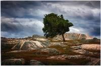 Solitary Tree (Hans Kawitzki) Merit