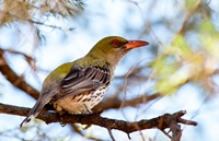 Olive Backed Oriole (Betty Bibby) 2nd Place
