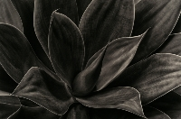 Agave (Jane Clancy) Merit