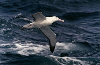 Royal Albatross (Ian Cross) Merit